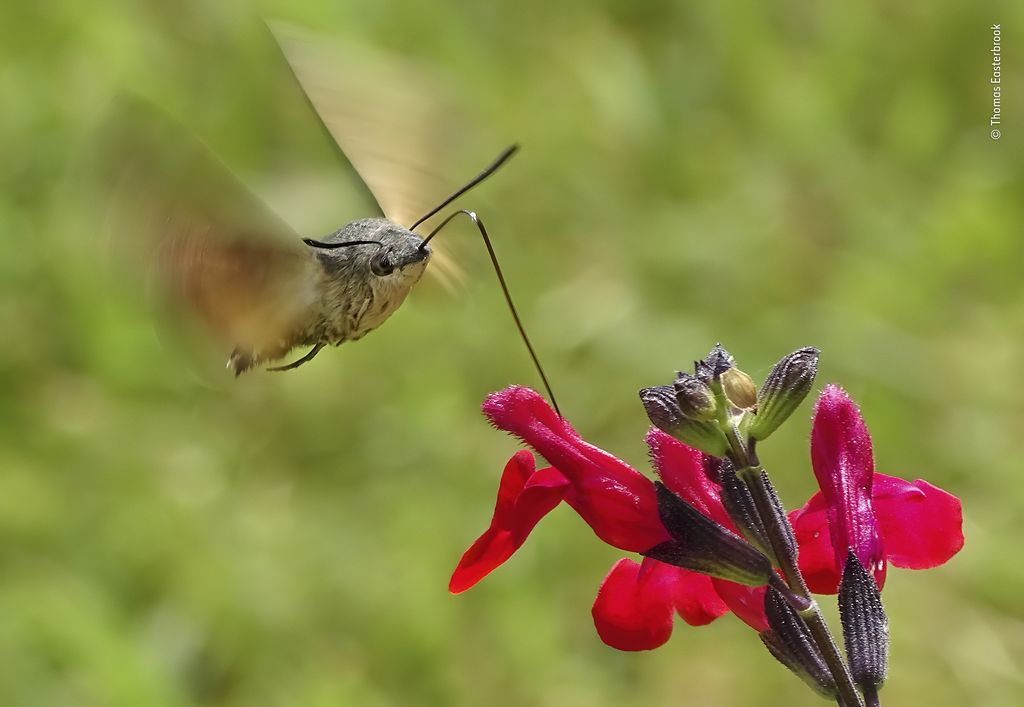 Hummingbird hawkmoth, hovering in front of an autumn sage, siphoning up nectar with its long proboscis.