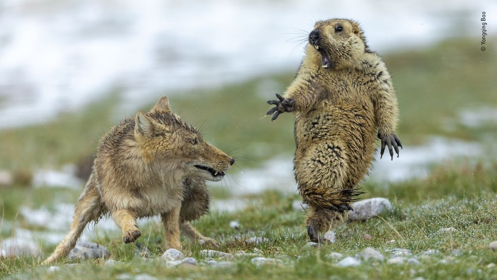 Marmot in the moment before it is attacked by a Tibetan fox.