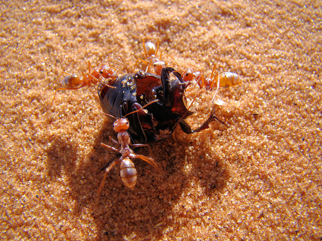 A group of Saharan silver ants (Cataglyphis bombycina) at work dismantling a beetle (Tenebrioninae/Stenocara) to bring it back to their nest.