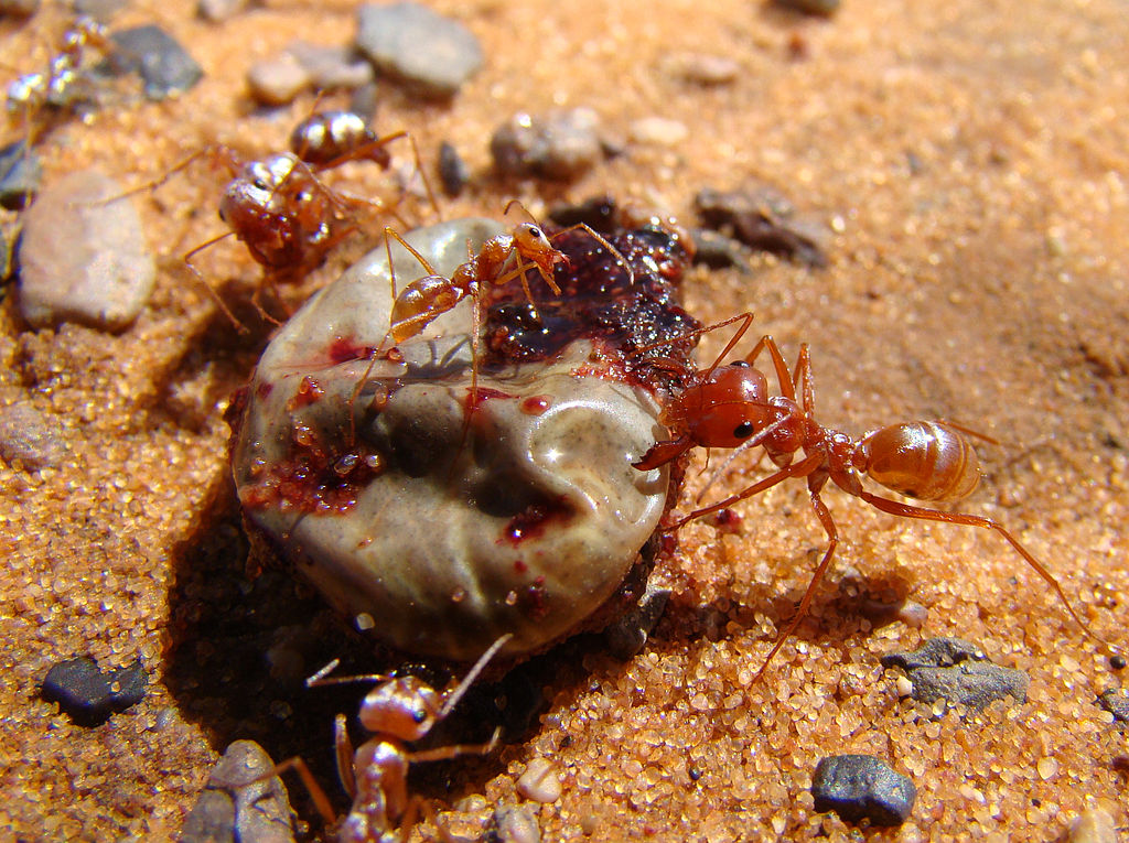 A group of Saharan silver ants (Cataglyphis bombycina) devouring a camel tick Hyalomma dromedarii.