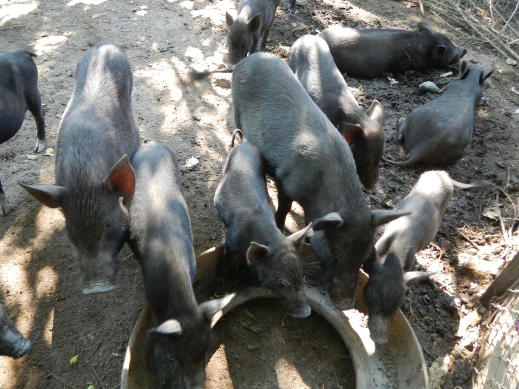 Wild pigs of the Philippines (Sus philippensis)