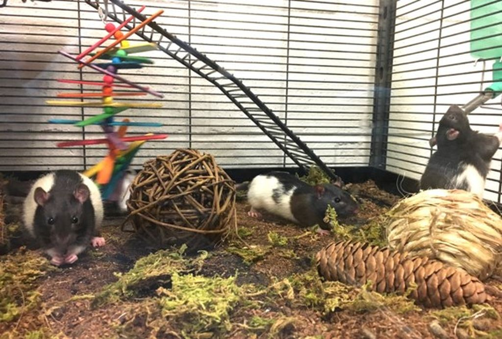 Rats relax in a cage designed to feel like a natural setting.