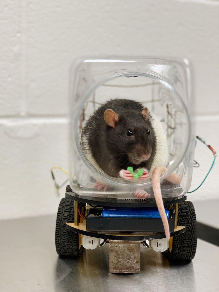 Rat eating a Froot Loop in a car.