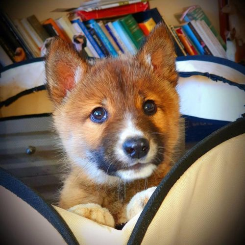Wandi, the dingo pup who was found in an Australian back yard.