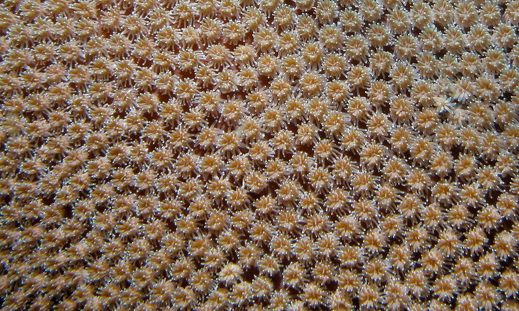 Galaxy Coral Polyps