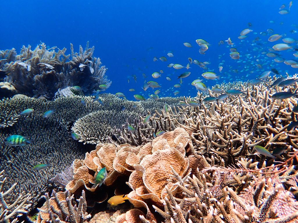 Fish swim over a healthy reef with many types of corals.