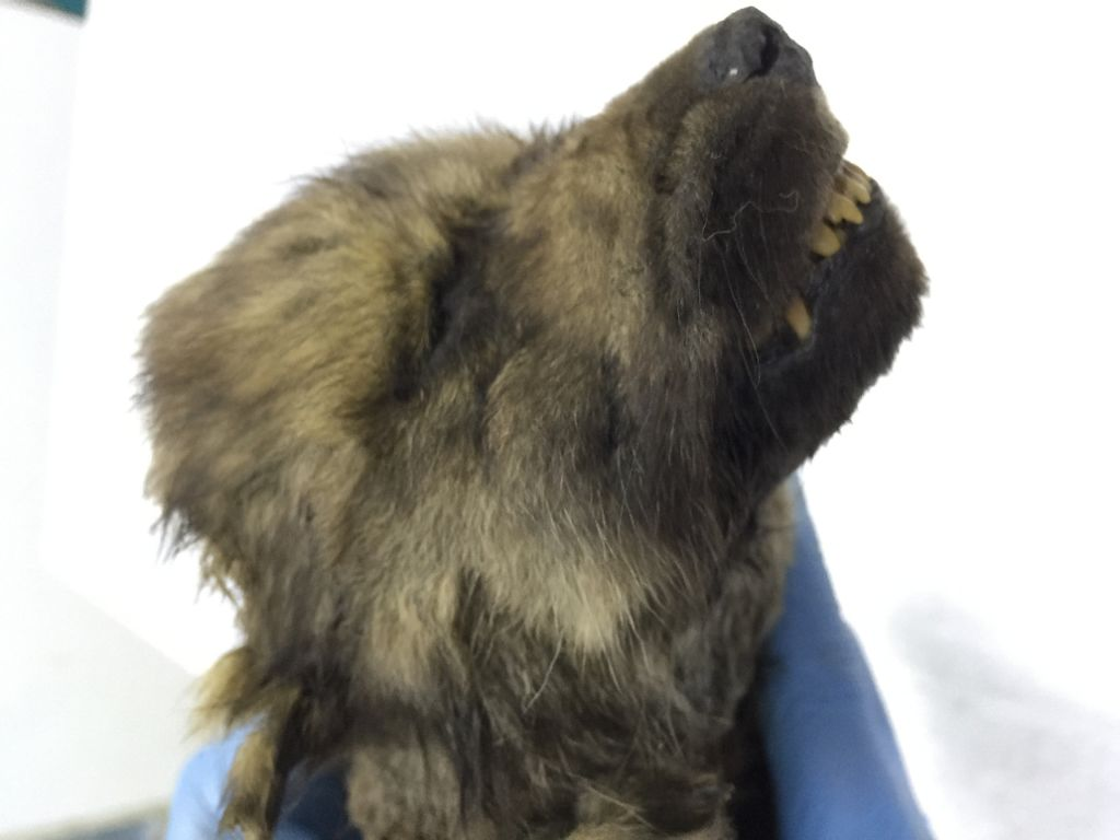 Dogor - the 18,000-year-old puppy found in Siberian permafrost.