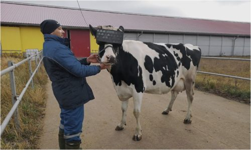 A farmer stands with a cow outfitted with a virtual reality headset.