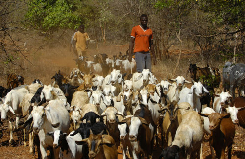 Local herdsman arrive at a 'cattle crush' with goats that will be treated by Kenyan veterinary staff for various ailments