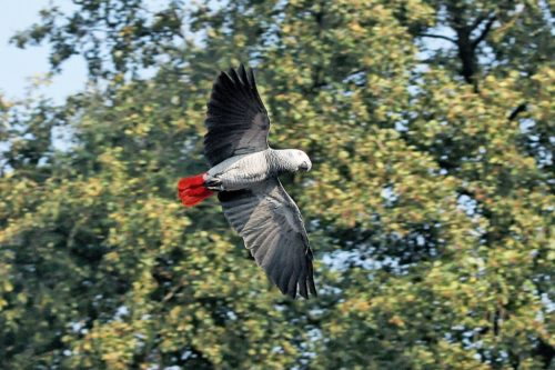 A Congo African Grey Parrot flying.