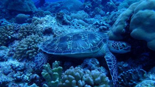 Turtle palau 2016