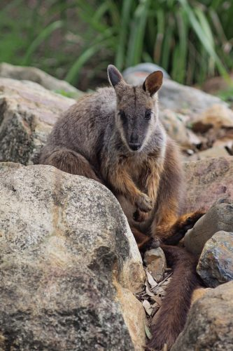 Brush tailed rock wallaby Petrogale penicillata