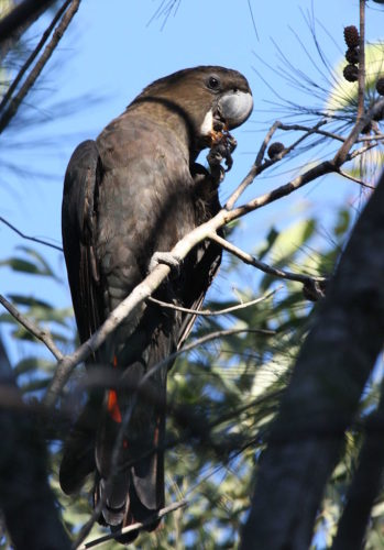Glossy Black Cockatoo (Calyptorhynchus lathami) Male, Kobble Creek, SE Queensland, Australia
