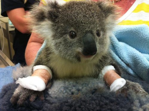 Injured koala with two bandaged paws.