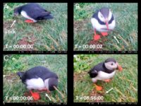 Screenshots from a video show a puffin grabbing a stick and using it to scratch itself.