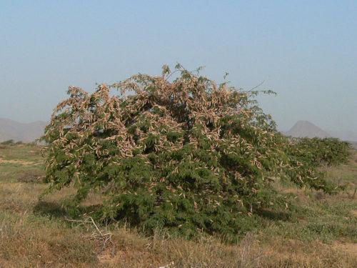 Part of settled swarm of Schistocerca gregaria photographed near Aeterba, Red Sea coast, Sudan, 2007.