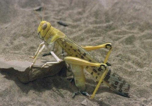Desert locust (Schistocerca gregaria) laying eggs during the 1994 locust outbreak in Mauritania (photographed by Christiaan Kooyman).