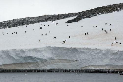 Adélie penguin (Pygoscelis adeliae), Hope Bay, Trinity Peninsula, on the northernmost tip of the Antarctic Peninsula