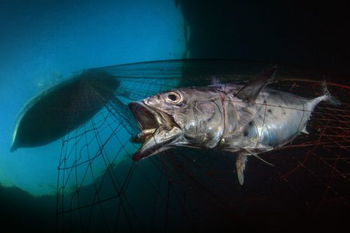 'Last Dawn, Last Gasp' by Pasquale Vassallo shows a tuna trapped in a fishing net.