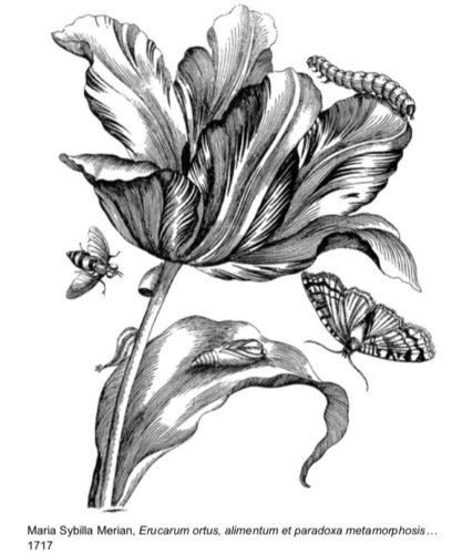 Maria Sybilla Merian, Erucarum ortus, alimentum et paradoxa metamorphosis… 1717