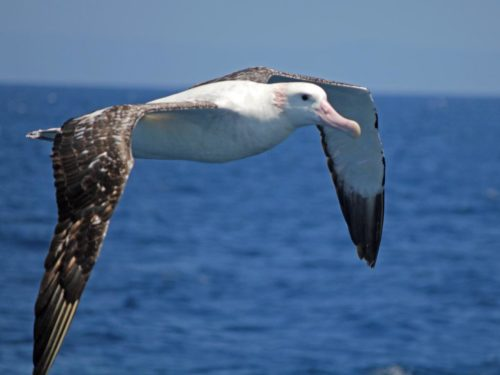 Wandering Albatross (Diomedea exulans) - in the Drake's Passage