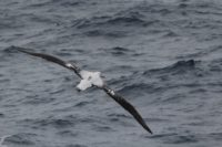Wandering albatross in flight with Centurion transmitter.