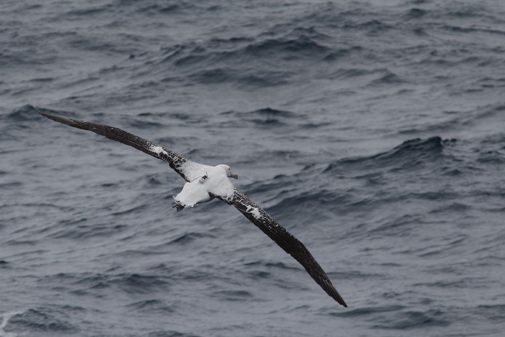 Wandering albatross in flight with Centurion transmitter.