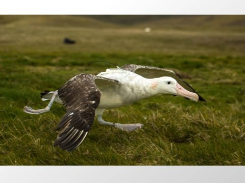 Wandering albatross taking off for the sea with a centurion tag.