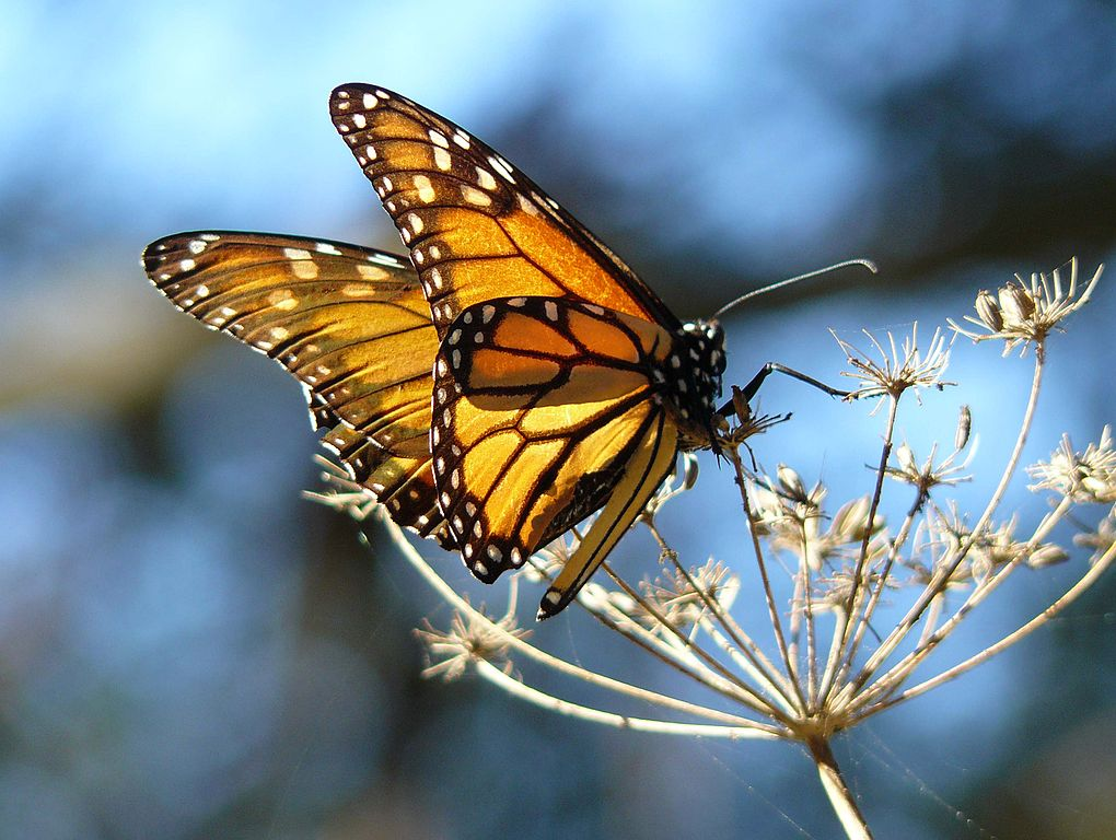Monarch Butterfly resting on fennel, at the Pismo Butterfly Grove, California