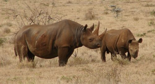 Two black rhinos (mother and calf) in Lewa, central Kenya.