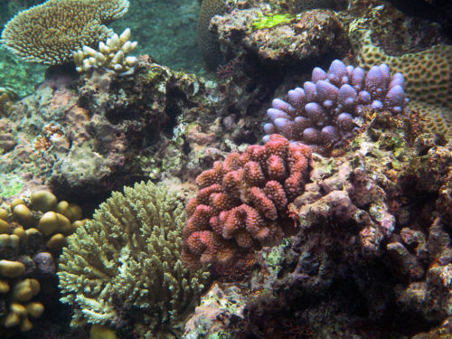 A beautiful array of colors and varieties of coral in the Great Barrier Reef.