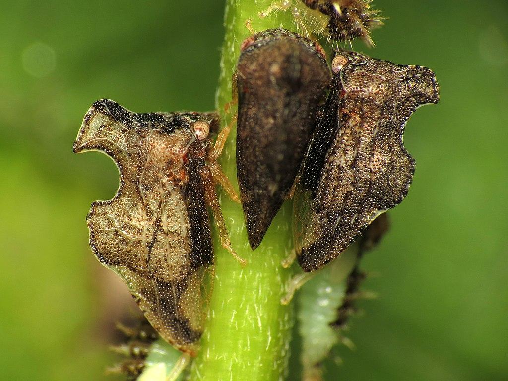 Entylia carinata. Keeled Treehoppers, Rock Creek Park, Washington, DC, USA