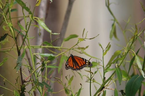 One male Western monarch perched on a leaf.