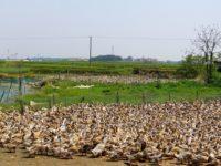 Ducks near Nanjing, China, taken on 2 May 2010