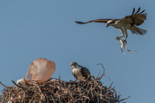 Plastic bag caught on osprey nest blows in wind while one osprey sits and a second comes in for a landing.