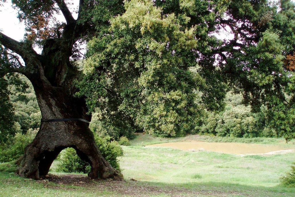 The Three-Legged Spanish Oak - Spain's entry for Tree of the Year