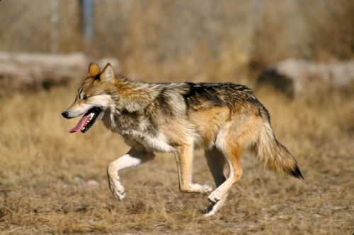 Captive Mexican Wolf at Sevilleta National Wildlife Refuge, New Mexico.