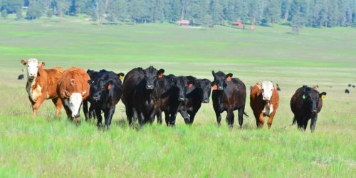 Cattle in New Mexico