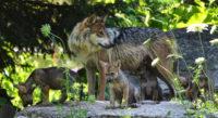 Mexican Gray Wolves and pups at the Brookfield Zoo