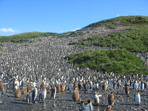 Great colony of about 60,000 pairs of hatching King Penguins (Aptenodytes patagonicus) in Salisbury plain on South Georgia.