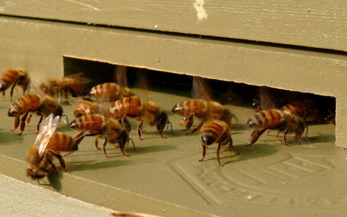 A group of Italian honeybee (Apis mellifera ligustica) workers gathered near the front entrance of their hive. These worker bees are fanning the entrance of the hive to cool it.