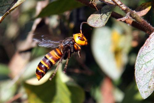 Vespa mandarinia, Asian giant hornet flying.