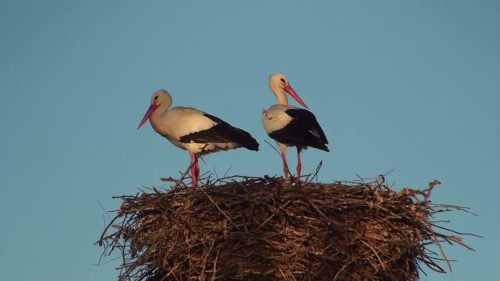 Two white storks, Ciconia ciconia, on nest in Lleida, Catalonia