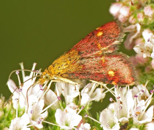 A beautiful Pyrausta Moth visiting the Mint flowering in the garden last August.