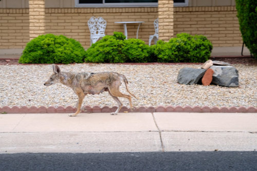 Female coyote trotting in front of a house.