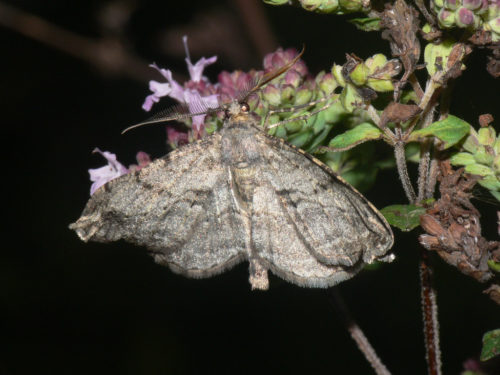 Moth - WIllow Beauty