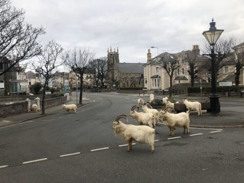 Kashmiri goats in Llandudno, Wales have come into town as people have stayed in their houses during the lockdown.