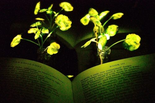 Glowing plants created by scientists at MIT.