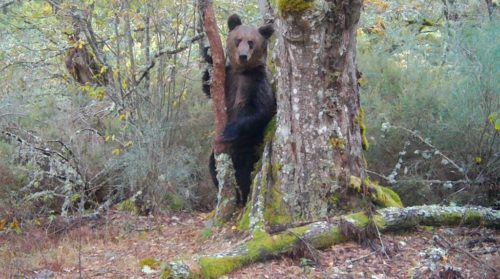 Male brown bear caught on photo-trap in Invernadeiro park in Galicia, Spain.