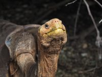 Diego, a Hood Island Giant Tortoise (Chelonoidis hoodensis) at the Charles Darwin Research Station in Santa Cruz, Galapagos